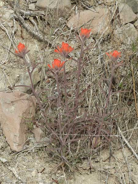 Desert Paintbrush, Castilleja chromosa, © by Michael Plagens