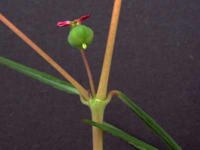 Chamaesyce florida fruit and inflorescence photo © by Michael Plagens