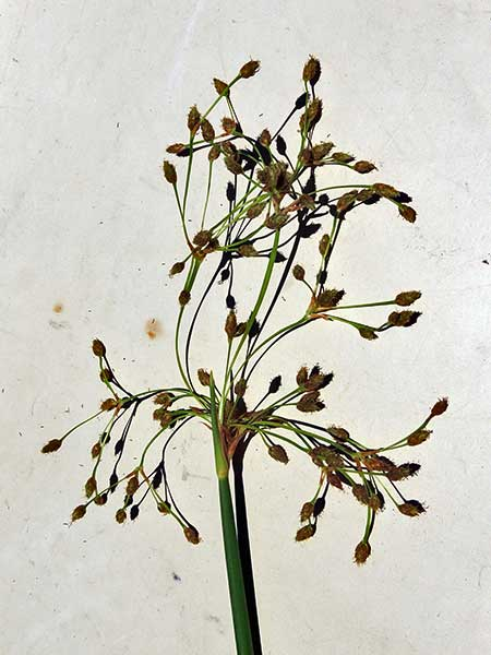 Common Rush, Juncus effusus, photo © by Mike Plagens