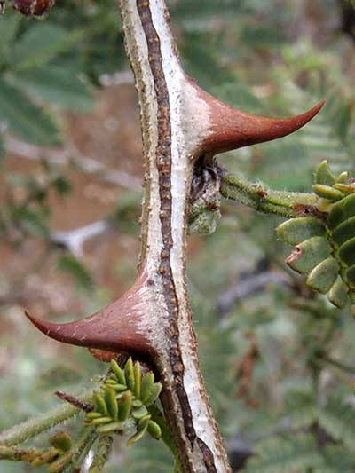 Super sharp thorns of Wait-a-Minute Bush, Mimosa biuncifera, photo © by Michael Plagens