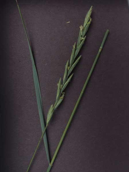 Western Wheatgrass, Pascopyrum smithii, photo © by Mike Plagens