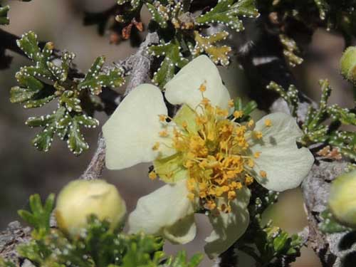 Mexican Cliff Rose, Purshia stansburyana, © by Michael Plagens