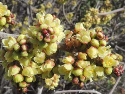 Rhus aromatica inflorescence photo © by Michael Plagens