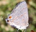 Leda Hairstreak