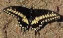 Papilio polyxenes coloro