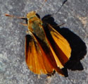 Orange Skipperling