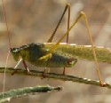 Mexican Bush Katydid