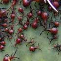 Agave Bug