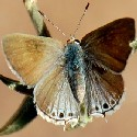 Scrub Mallow Hairstreak