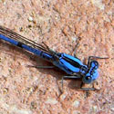 Argia sp. © by Mike Plagens