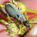 Gray Blister Beetle