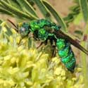 Cuckoo Wasp, Chrysidini, © by Mike Plagens