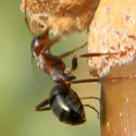 Formica ant
