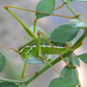 common short winged katydid