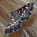 Diathraustia Snout Moth