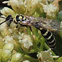Myzinum Wasp
