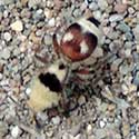 Which Way Velvet Ant