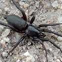 Sosippus wolf spider