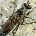 Therevidae Fly