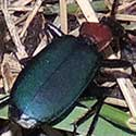 Ground Beetle, Galerita atripes