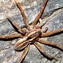 a Wolf Spider