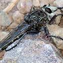 Giant Robberfly