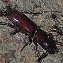 Pole Borer Cerambycidae