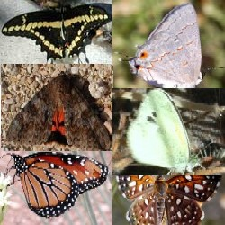 Butterflies and Moths in the Sonoran Desert