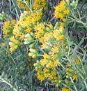 Alkali Goldenbush