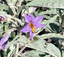 Silver-leaf Nighshade;Horse Nettle