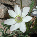 Desert Windflower