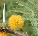 Huisache;Sweet Acacia