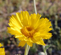 Desert Marigold