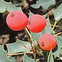Red-berry Barberry