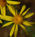 Sand Wash Groundsel