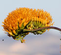 Golden-flowered Agave