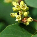 California Buckthorn