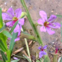California Loosestrife