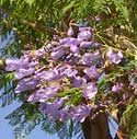 Jacaranda flowers and foliage