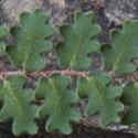 Wavy-leaf Cloak Fern