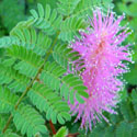 Velvet-pod Mimosa