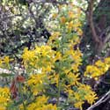 Wright's Goldenrod