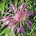 Rothrock's Knapweed