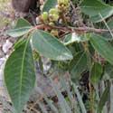 Evergreen Sumac