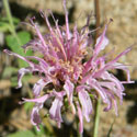 Bee Balm, Monarda fistulosa,
