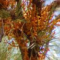 Pineland Dwarf Mistletoe