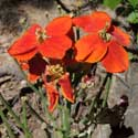 orange-flower Wallflower, Erysimum capitatum