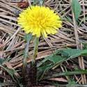 Elk-Weed