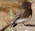 Black Phoebe is also found in the Sonoran Desert