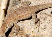 Side-blotched Lizard © by Mike Plagens
